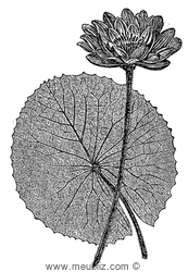 Feuille et fleur du lotus blanc d'Egypte