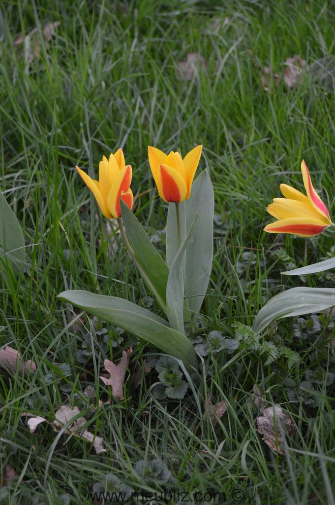 tulipe definition